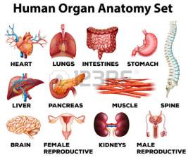 44952957-human-organ-anatomy-set-illustration