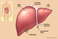 liver_illustration.jpg