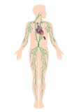 lymphatic-system-25867887.jpg