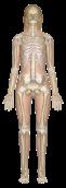 sk-female-anterior_1