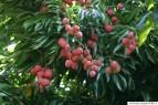 o-lychee-tree-570