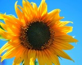 yellow-sunflower-403172__340